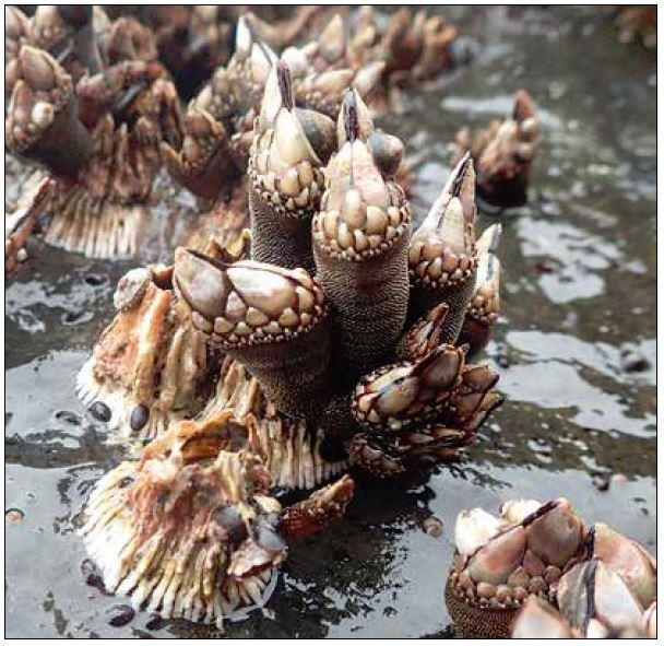 Gooseneck barnacle in the wild