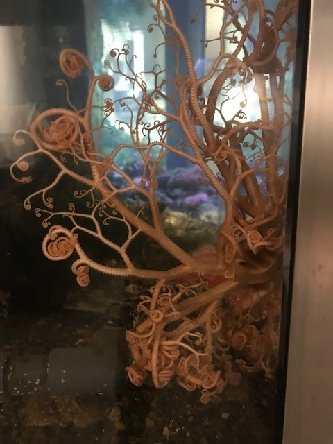 basket sea star moves across glass in tank at Hatfield Visitor Center