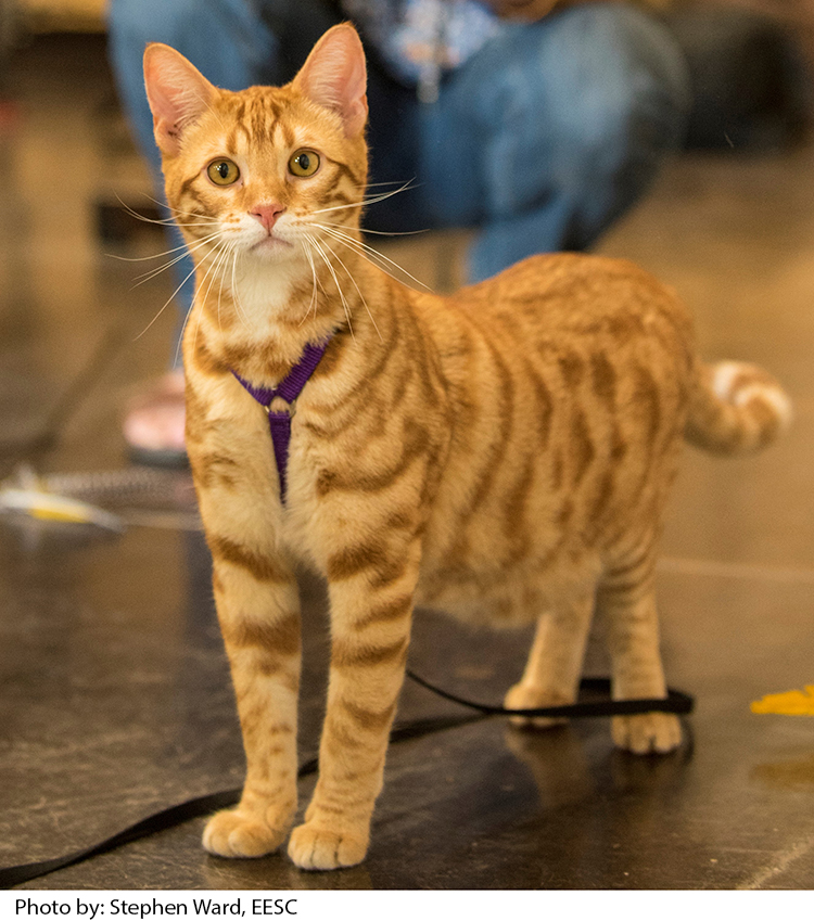 Orange tabby house cat