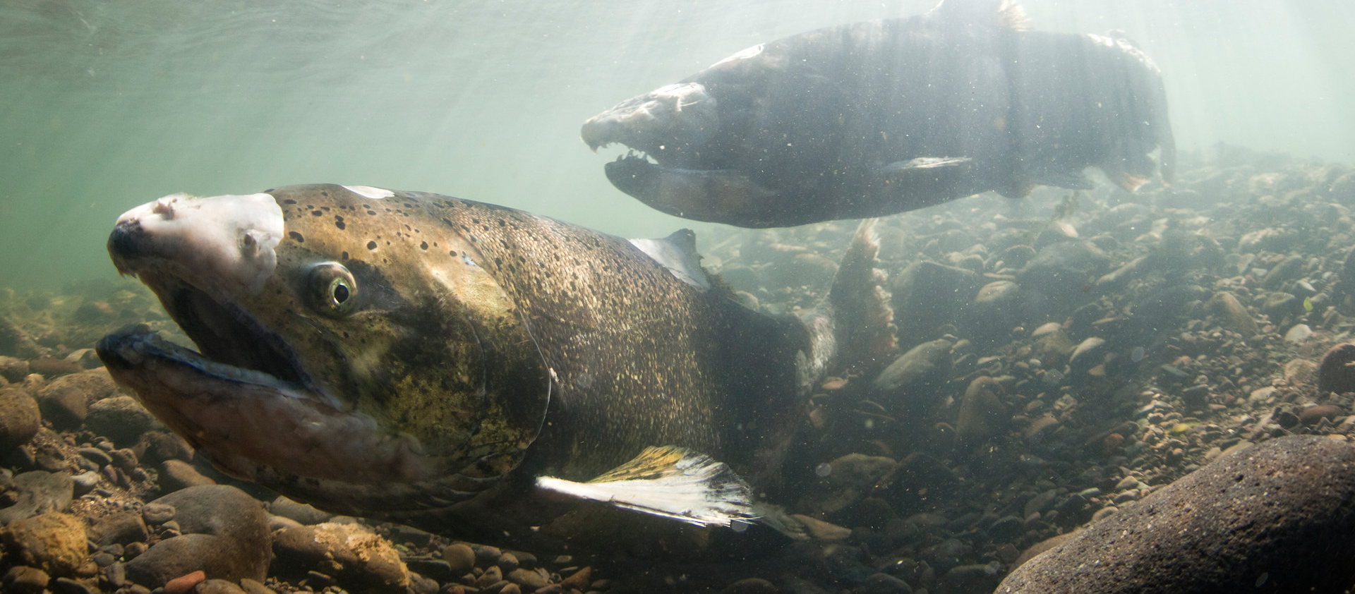 Underwater view of two Chinook salmon swimming along a rocky stream bed.