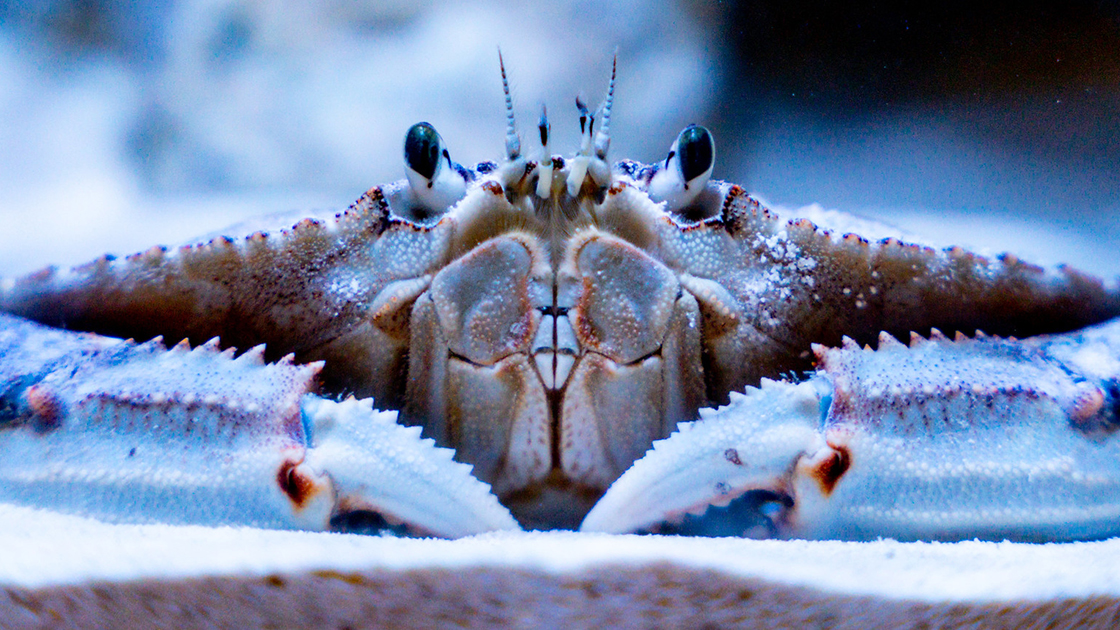 A close up view of a crab. Its eye stalks peer straight ahead. Also, its massive front claws are in view.