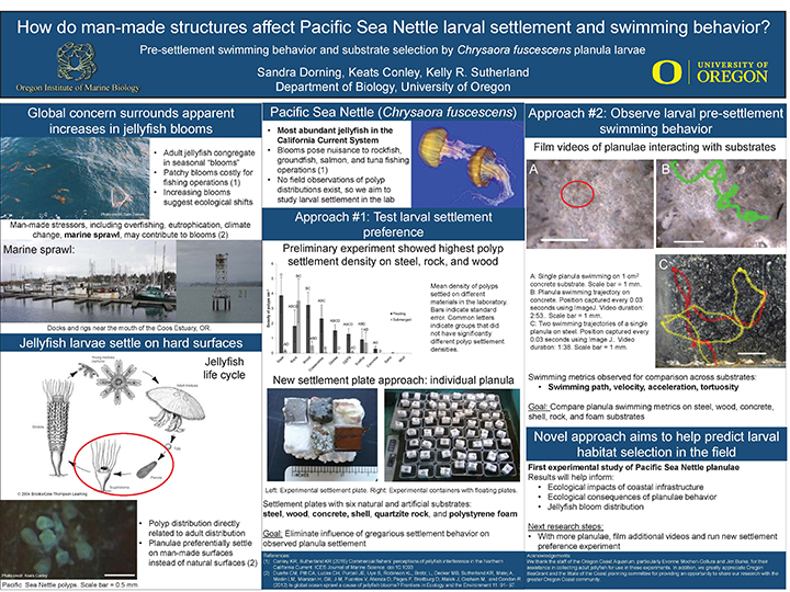 "reserach poster titled ""How do man-made structures affect Pacific Sea Nettle larval settlement and swimming behavior?"""