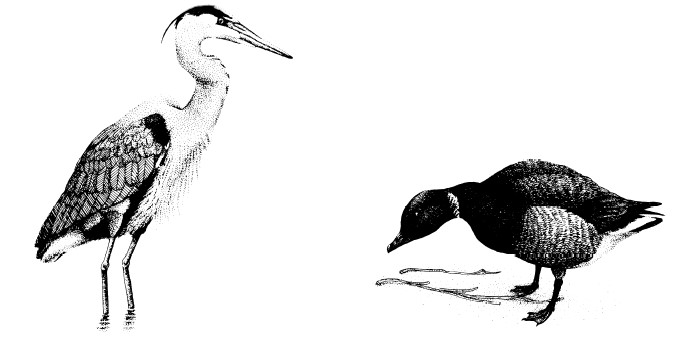 Drawings of a heron and a goose.