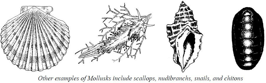 Other examples of Mollusks include scallops, nudibranchs, snails, and chitons