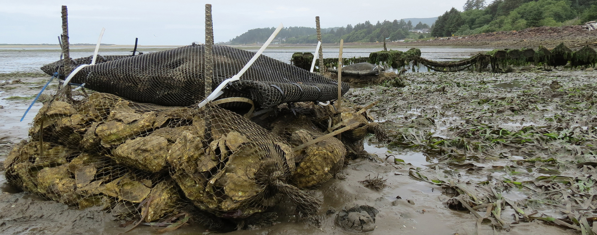 Bags of oysters are strapped to different amounts of empty oyster shells in Netarts Bay as part of a research project