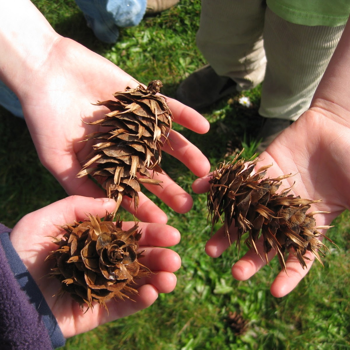 Three hands holding Douglas fir cones