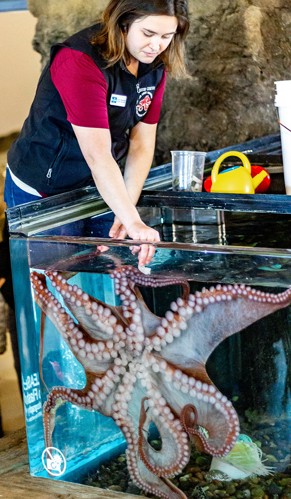 Assistant aquarist Morgan Meeuwsen feeds the Giant Pacific octopus that lives in a tank at Hatfield Marine Science Center.
