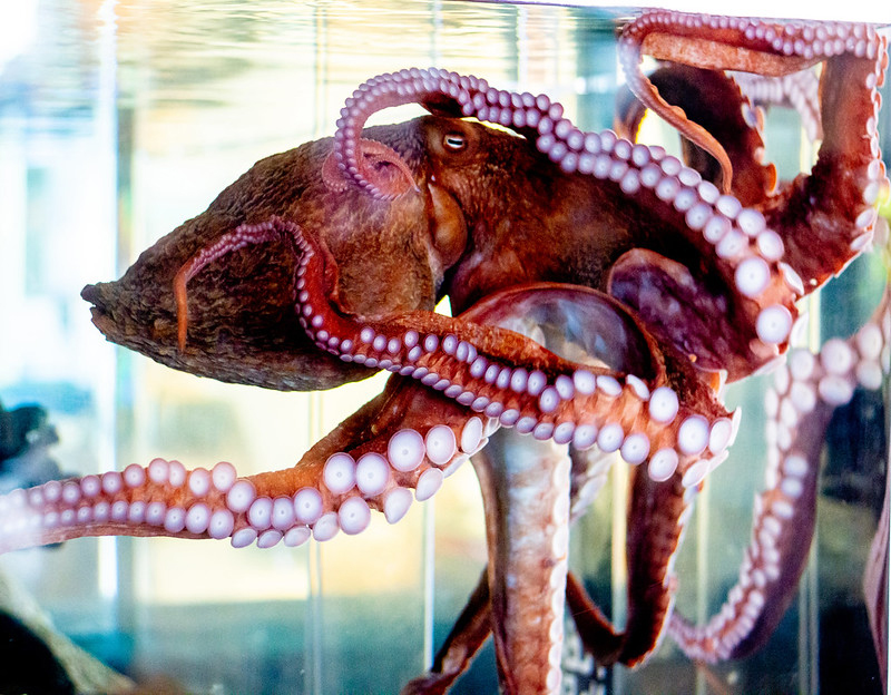 A giant pacific octopus stretches its body at the Hatfield Visitor Center in Newport