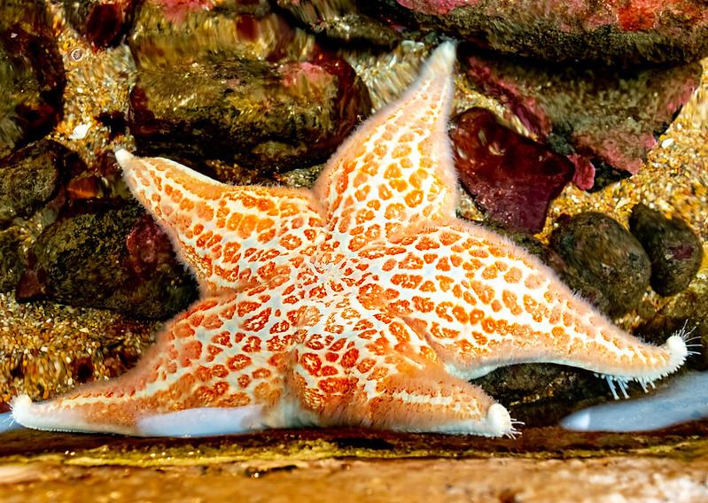 An orange sea star in a tidepool exhibit at Hatfield Visitor Center in Newport, Oregon