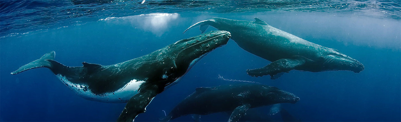 Underwater view of humpback whales swiming in close formation.