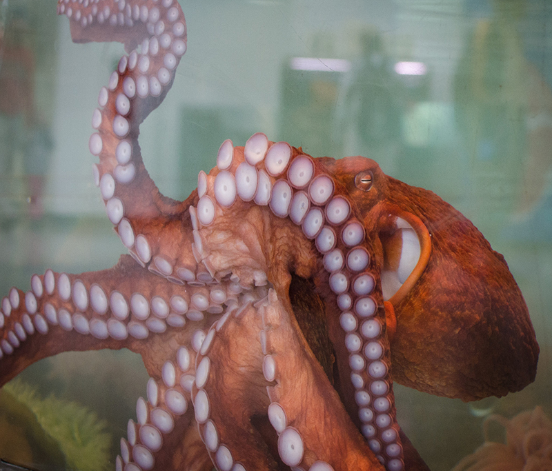 Giant pacific octopus presses against the glass on a tank. Its underside and tenticles are on display.