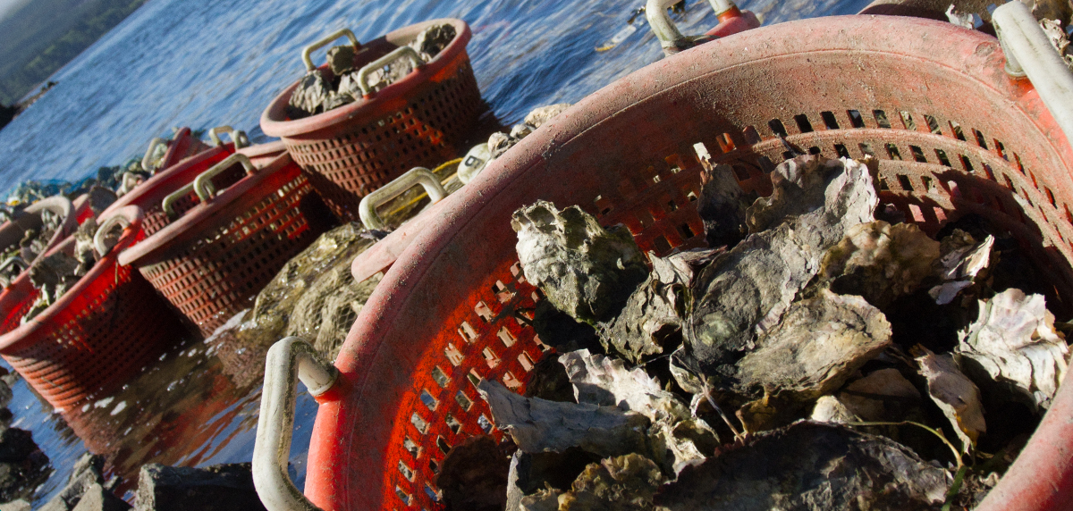 Buckets of just-harvested oysters cool in the shallows of Netarts Bay
