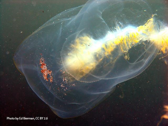 Pelagic tunicates floating in the ocean
