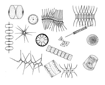 Drawings of fifteen different phytoplankton, unlabeled.