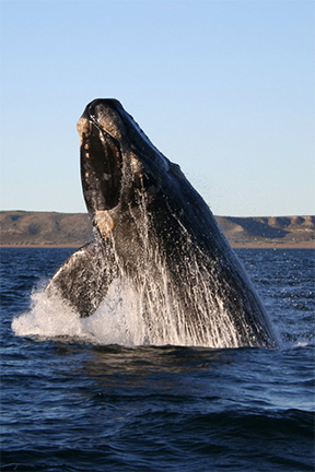 right whale coming out of the water