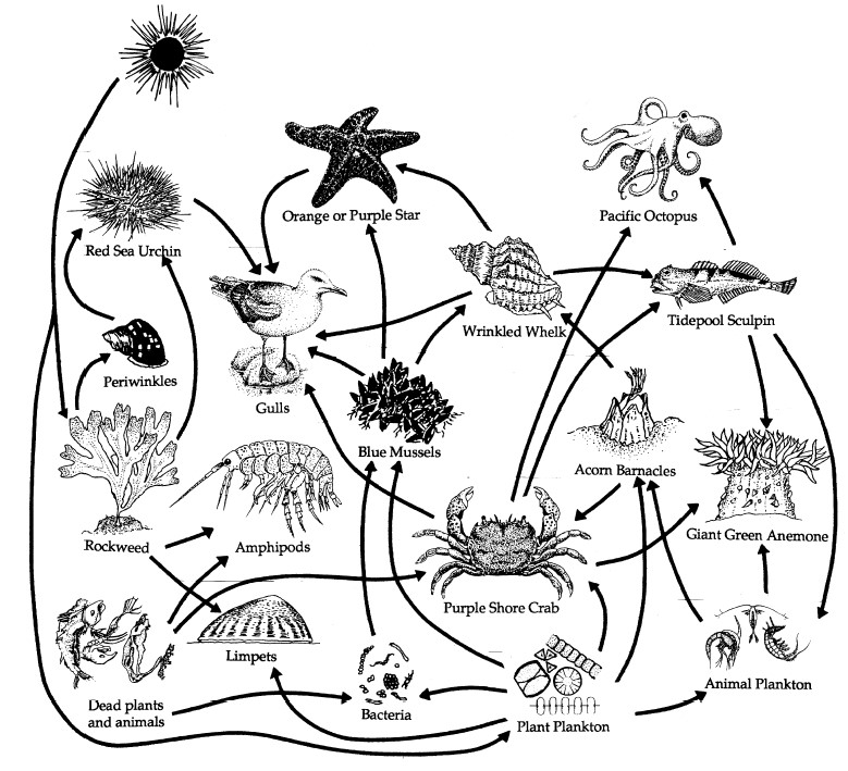 Diagram of a rocky shore food web showing digfferent organisms such as a seagull, octopus, whelk, bacteria, etc.