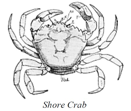 Line drawing of a shore crab.