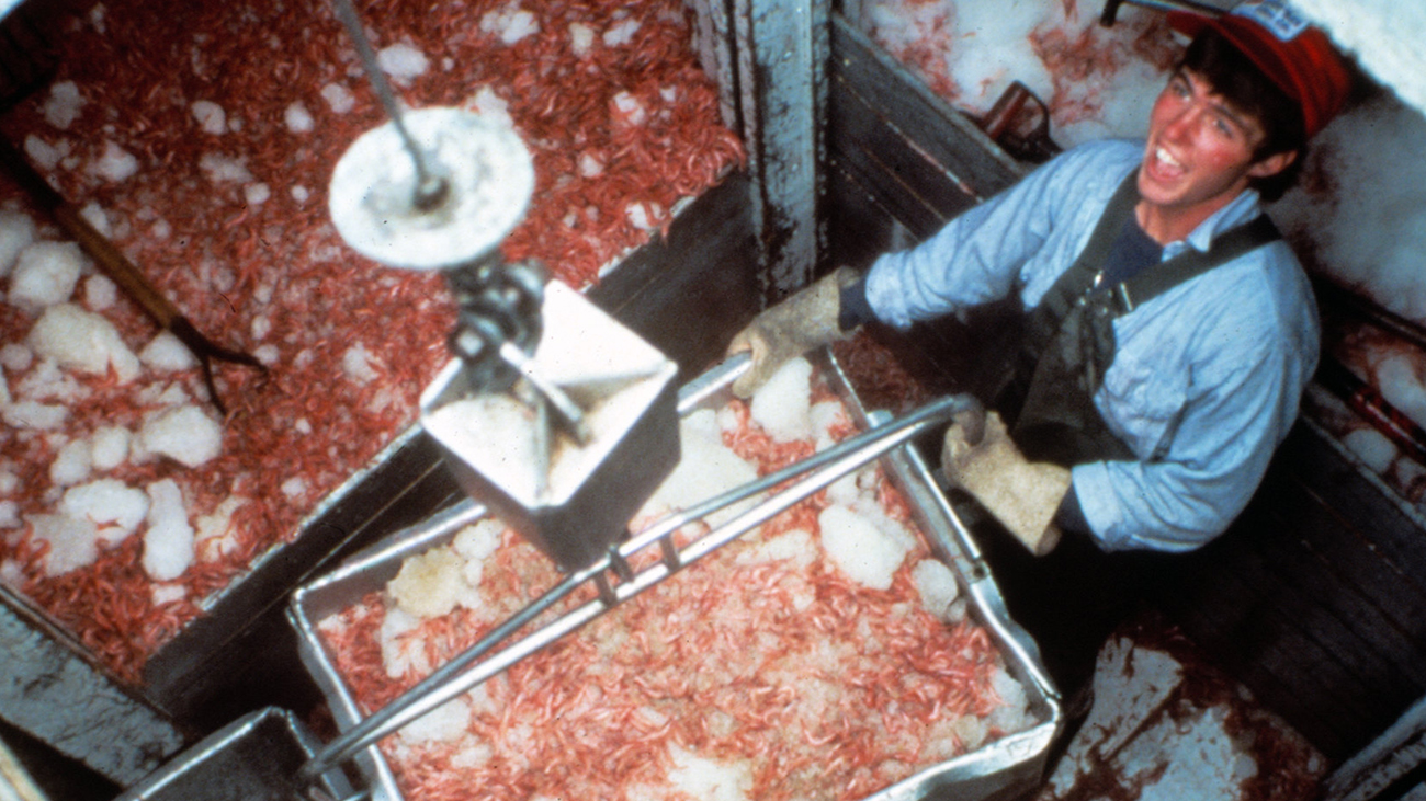 A young fisherman wearing thick gloves and bibs, works in a ship hold with crates of Oregon bay shrimp that are packed in ice.
