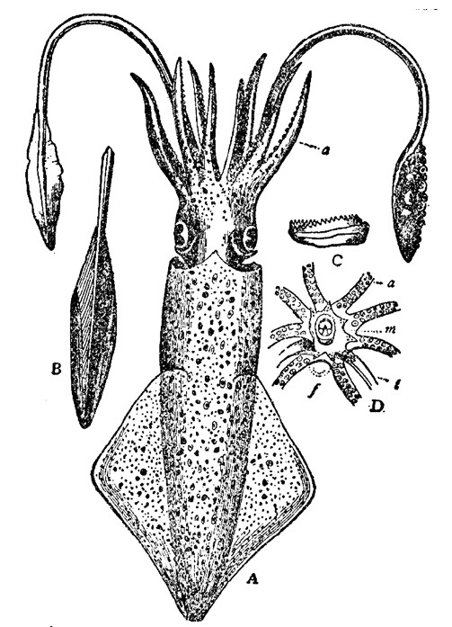 Line drawing diagram of a squid overall also showing separate drawings of arms, tentacles and mouth parts.