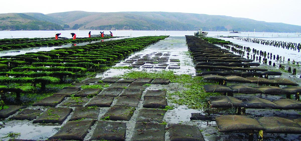 Oyster bags await high tide in an eelgrass bed (Becky Mabardy photo).
