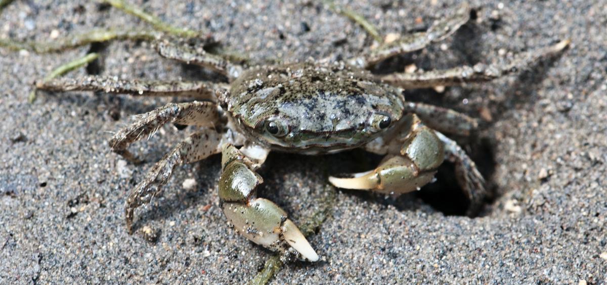 shorecrab (Hemigrapsus oregonensis)
