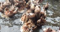 Gooseneck barnacles grow on top of thatched barnacles.
