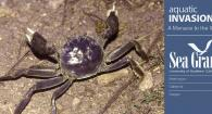 Chinese mitten crabs are invasive in the US
