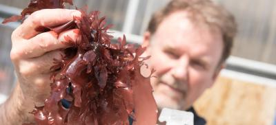 Chris Langdon, an aquaculture researcher at Oregon State University, shows off the patented strain of Palmaria mollis that he developed.
