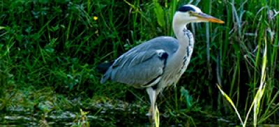 Heron in an marsh