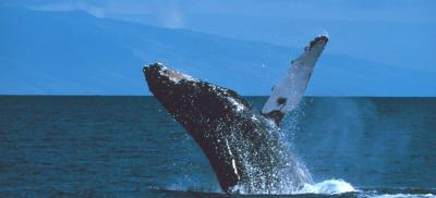 Mother and calf humpback whale