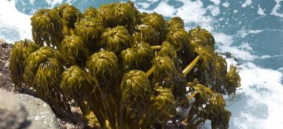 A large cluster of sea palm sea weed is rooted to barnacle covered rocks. Waves roll over the sea palms.