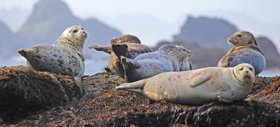 A group of harbor seals with white and black speckled fur rest on a rock out cropping that is covered in seaweed.