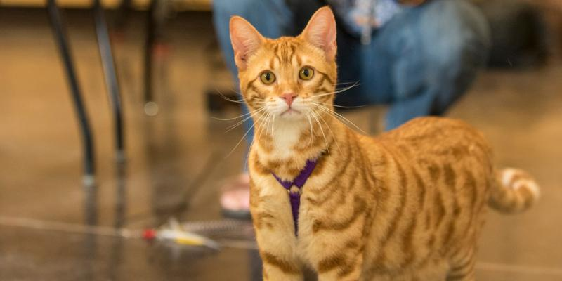 A cat participates in a training class at Oregon State University.