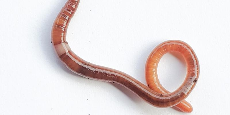 A jumping worm wiggles on a white background.