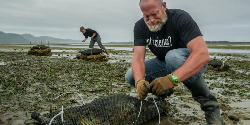 George Waldbusser, a biogeochemist at Oregon State University, straps a bag of oysters to rebar as a control while doctoral student Sophia Wensman places a bag of oysters on top of empty oyster shells in Netarts Bay.