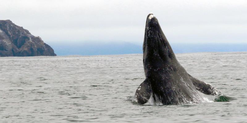 Gray whale breaches