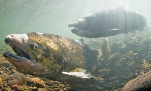 Underwater view of chinook salmon swiming over a rocky river bed.