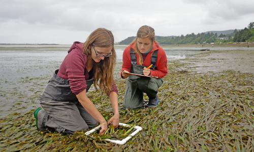 Two women researchers dressed in waders measure eel grass at low tide on the Oregon coast.