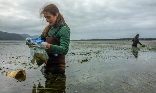 Researchers collects tiny herbivores in eelgrass in Netarts Bay