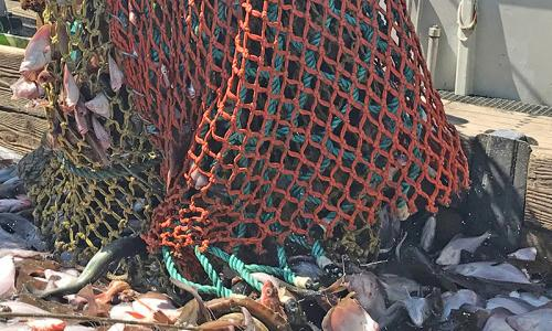 Fishing net full of groundfish empties onto a boat.