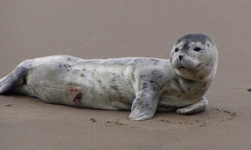 Newborn Harbor Seal pup laying on the beach