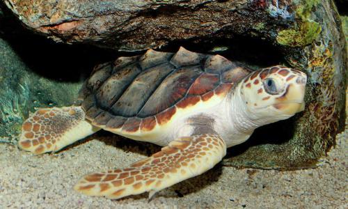 Loggerhead turtle  resting under on the sea bed floor near rocks.