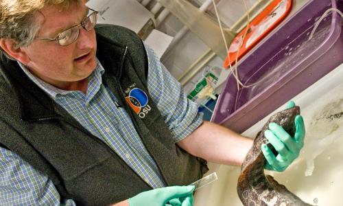 Aquatic veterinarian Dr. Tim Miller-Morgan treats a wolf eel.
