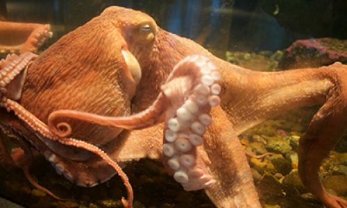 Pacfic octopus at the Hatfield Visitor Center