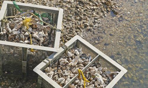 oyster shells in large baskets rest on the sand.