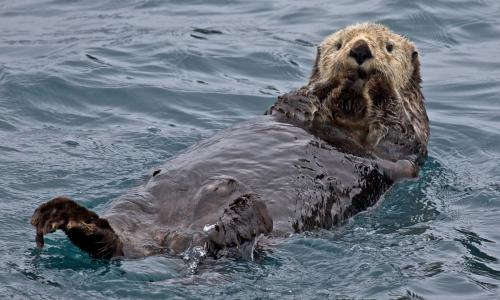 Sea otter floats on its back with its paws on its face.