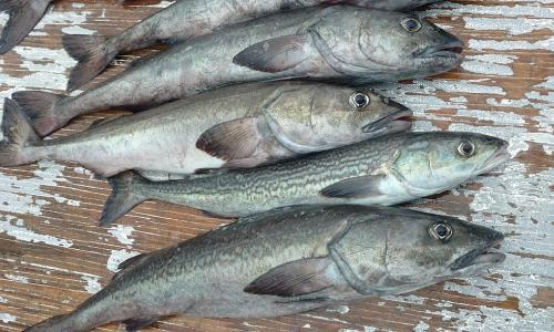 Four small sablefish that have been caught lay on a wooden deck.