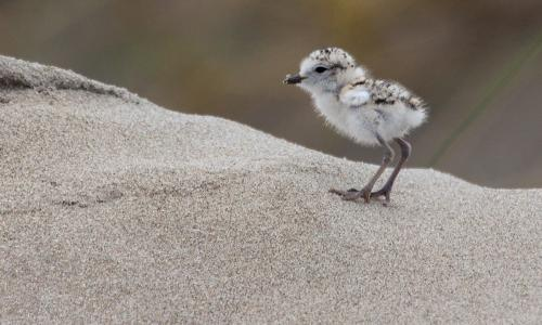A western snowy plover chick stands on the sand.