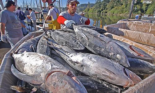 catch of tuna fish on the dock