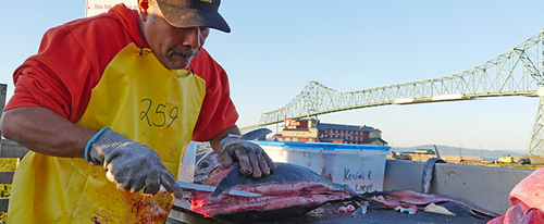 Man filets salmon on docks for fishermen tourist in Astoria, Oregon.